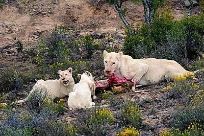 Божествени даровеБели лъвове се хранят с газела в южноафриканския резерват Санбона. Според африканските вярвания белите лъвове са деца на бога Слънце,...