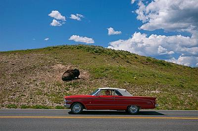 Автомобил намалява скорост, докато минава покрай наслаждаващ се на слънцето бизонТози ретро автомобил намалява скорост, докато минава покрай наслждава...