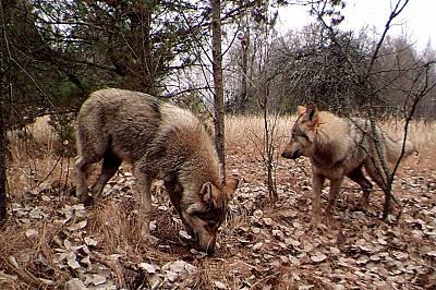 Сиви вълци от района около ЧернобилПоради ограничената човешка дейност в района, популацията на сивия вълк расте.