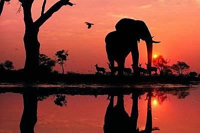 Край блато в делтата на Окаванго, Ботсвана, мъжки слон величествено се извисява над отражението си. На хоризонта се виждат стадо жадни куду.
