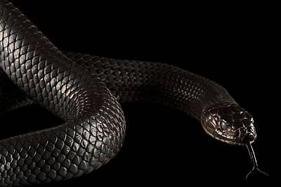 Змия от вида Drymarchon corais erebennus сменя кожата си в зоопарка Форт Уърт.