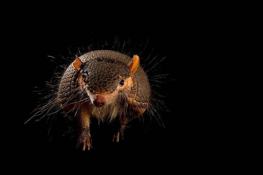 Крещящ космат броненосец (Chaetophractus vellerosus) Когато се почувстват застрашени тези космати бозайници, срещащи се в Южна Америка, издават звук к...