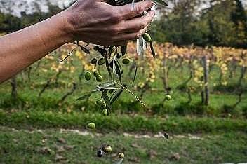 Фермер събира дребни, ароматни маслини от които се произвежда  зехтин Lucca.