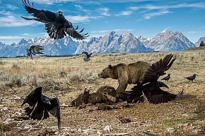 Части от Йелоустоун са по-диви сега, отколкото са били преди век, а мечките гризли се срещат все по-често. На снимката мечка гризли прогонва лешояди о...