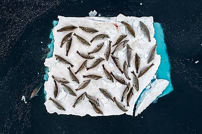 """Тюлен крабоедСнимката на Кристобал Серано на тюлен крабоед в Антарктида спечели наградата в категорията """"животни заснети в своя среда&ld..."""