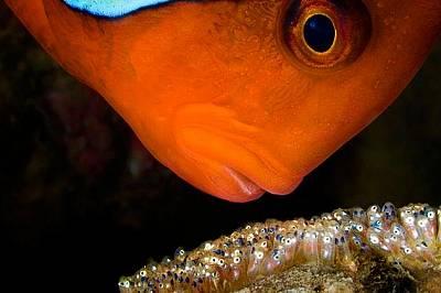 Риба клоунТози вид риба клоун бди над яйцата си в Анилаи, Филипините.
