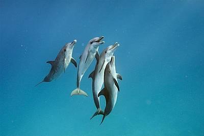 Тези атлантически петнисти делфини (Stenella frontalis) край остров Бимини на Бахамите също участват в проучване свързано с начина им на комуникация.&...