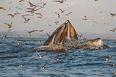 Гърбати китове си устройват пиршество с риба в топлите води на залива Монтерей, Калифорния.
