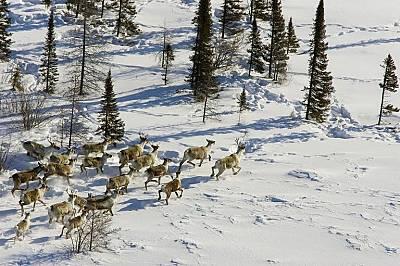 Северни елени в национален парк Уапаск
