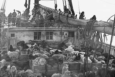 """През 1908 г. изследователят Робърт Пири се отправя към Северния полюс с 246 кучета."""" Никога няма да забравя страховития шум, задавящата смра..."""