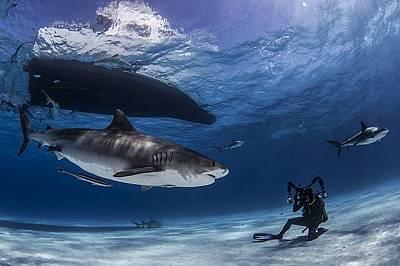 Тигрова акула позира за снимка, Бахами