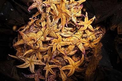 Севернотихоокеанска морска звезда, Порт Филип, Австралия