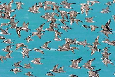 Бруум, Западна АвстралияЗаливът Робак може спокойно да бъде наречен световна столица на блатните птици. Тук всяка година, преди да поемат пътешествеит...