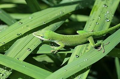 Зелен анолис