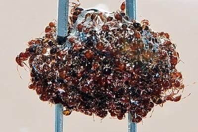 На тази снимка се вижда как мравките образуват въздушен балон.