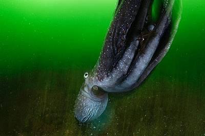 Октопод  в националния парк Fiordland на южното крайбрежие на Нова Зеландия