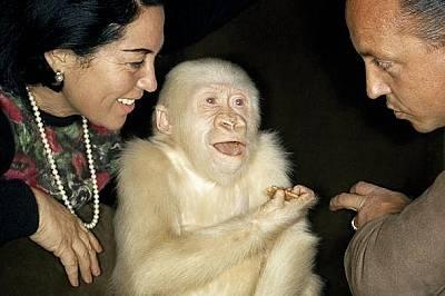 Рядък албиносСнежинка, единствената позната ни западна равнинна горила–албинос, умря в зоопарка в Барселона през 2003 от рак на кожата.