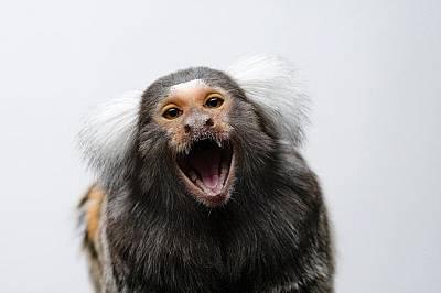 Обикновена мармозеткаОбикновената мармозетка се учи какво да яде като наблюдава по-възрастните. Подобно на маймуните тя може да повтаря действията на...