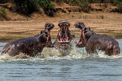 Хипопотами. Мфуе, Замбия