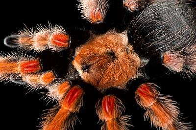 Мексикнаска червеноколенеста тарантула, Brachypelma boehmei, в зоопарка Бревърд, Мелбърн, Флорида.