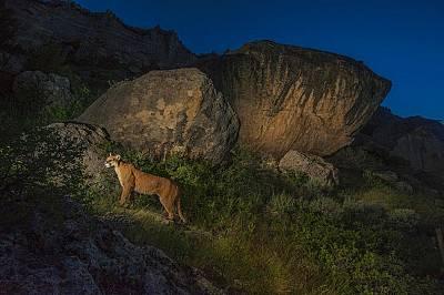 Планински лъв дебне плячка в Уинд Ривър Рейндж, Уайомин