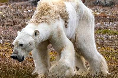 Така изглежда умираща от глад бяла мечкаПри липсата на лед и съответно обичайната им храна тези хищници постепенно измират на сушата.