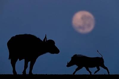 Воден бивол и брадавичеста свиняМате се надявал да заснеме доста животни по пълнолуние. Облаците обаче обгръщали небето цялата нощ. Едва на зазоравяне...