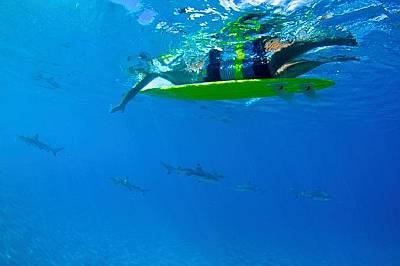Моореа, Френска ПолинезияДа плуваш с акули. Моореа, Френска Полинезия.