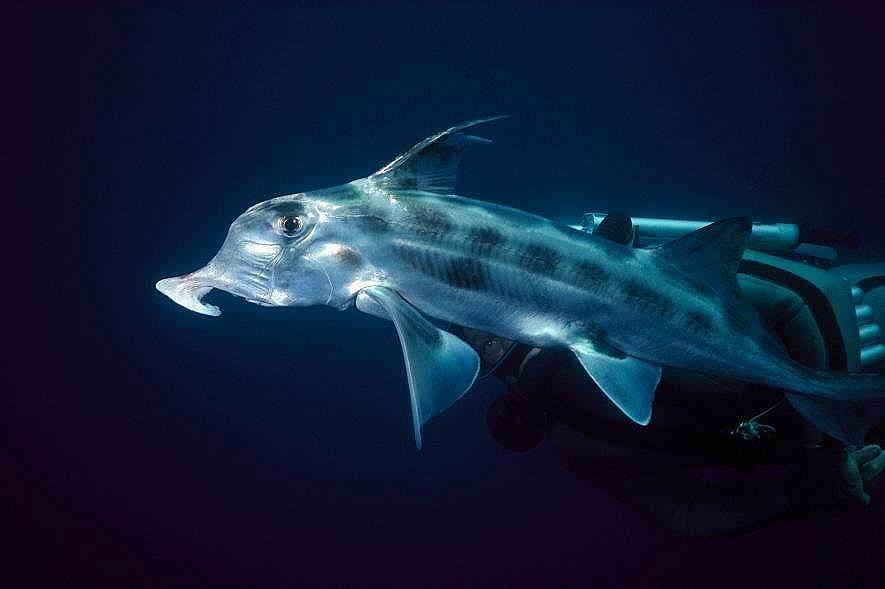 Химера (призрачна акула)Австралийската призрачна акула има хобот подобен на слонския с кой търси плячка по океанското дъно. Призрачните акули са всъщ...