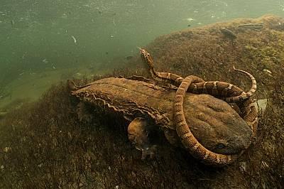 """Американска водна змия от вида Nerodia sipedon в челюстите на гигантски саламандърДейвид Херасимтшук печели в категория """"земноводни и влечуг..."""