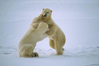 Полярни мечки се боричкат в Чърчил, Канада