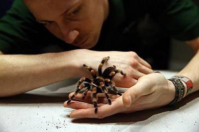 Според проучвания съединения от отровата на тарантула облекчават болката повече от морфина.