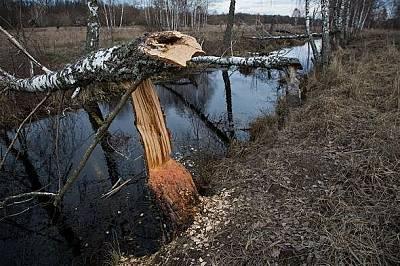 Бреза, повалена от бобриБреза, повалена от бобри над напоителен канал.