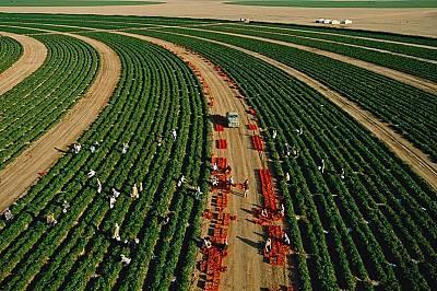 Работници берат домати в Саудитска Арабия.