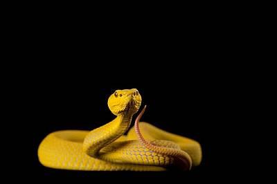 Змия от вида Trimeresurus albolabris се е втренчила във фотоапарата.