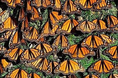Пеперуди монарх се припичат на слънце в Мичоакан, Мексик