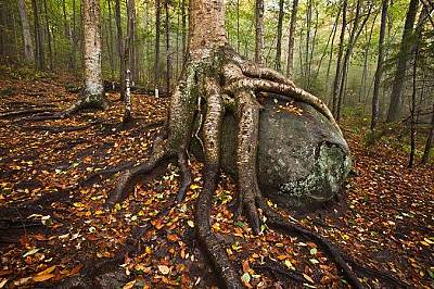 """Жълта бреза обгръща камък с корените си в парка """"Адирондак"""", Ню Йорк"""