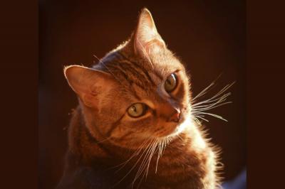 Как котките таби получават своите ивици и М на челото?