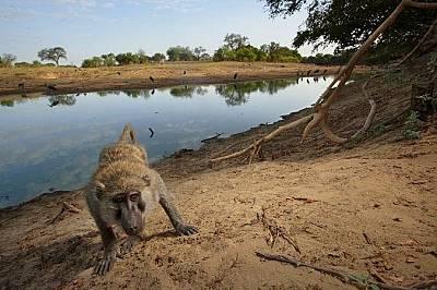 Любопитен бабунЛюбопитен бабун внимателно пропълзява към камерата в националния парк Закума в Чад.