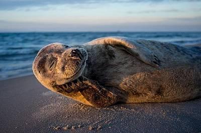 Тюлен. Остерби, Дания