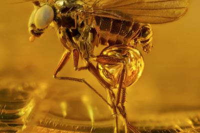Комар на 40 милиона години, обгърнат от дървесна смола. Малкото кехлибарено съкровище, е открито в Балтийския регион, Европа.