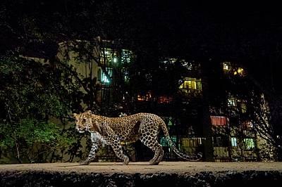 """Леопард, осветен от светкавица на фотокапан и сиянието на светлините на Мумбай, се промъква по границата на Националния парк """"Санджай Ганд..."""