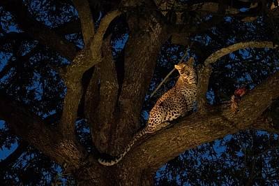 """Женски леопард в резервата """"Саби Санд"""" в ЮАР е качил плячката си на дърво, за да е на сигурно място. Тези котки предпочитат плячк..."""