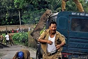 Горски се борят с хаоса при нападение на леопард в Западен Бенгал, Индия, през юли 2012 г. Котката ранила 6 души, преди да я озаптят.    &...