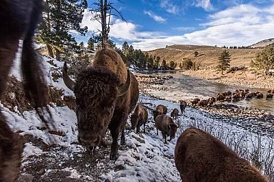 Бизони, пресичат рекаФотокапан успява да заснеме тези бизони, пресичащи река Ламар в Йелоустоун.