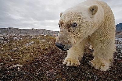 Бяла мечкаБяламечка се взира в камерата, Свабард, Норвегия.