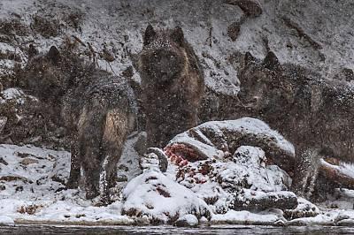 Вълчица и малките й пируват с труп на бизон, удавил се в река Йелоустоун. Те се хранят основно с лосове, които съставляват 85% от храната им през зима...