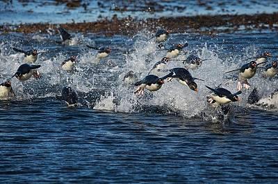 Пингвини край Фолкландските острови