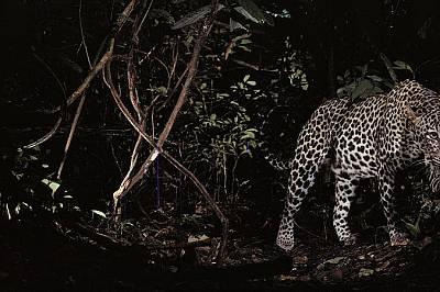 ЛеопардТази снимка на леопард, направена през 1995 година, бележи началото на използването на фотокапаните като рутинна част от фотографското оборудва...