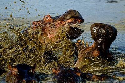 Хипопотами. Масаи Мара, Кения